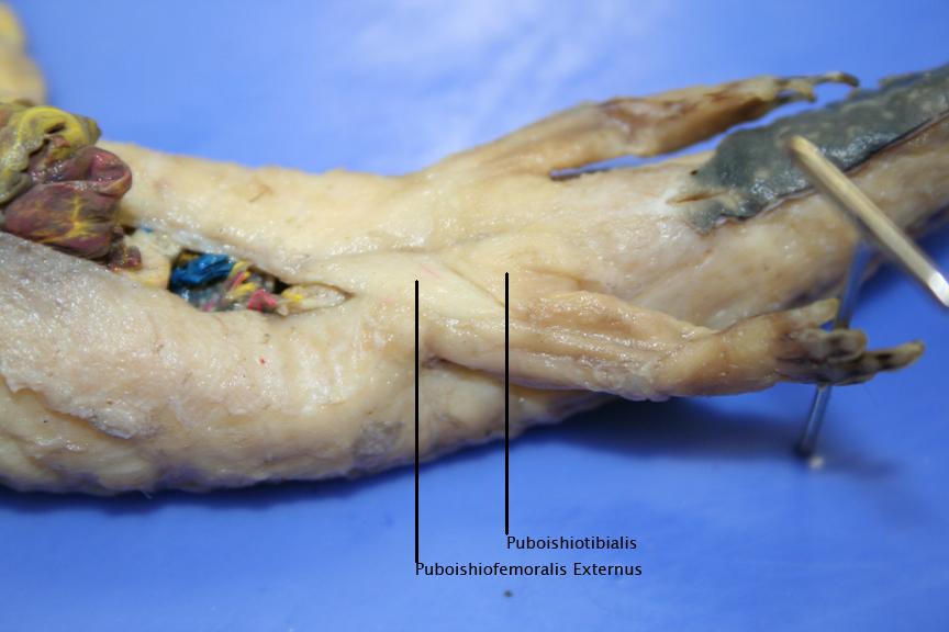 Mudpuppy internal anatomy