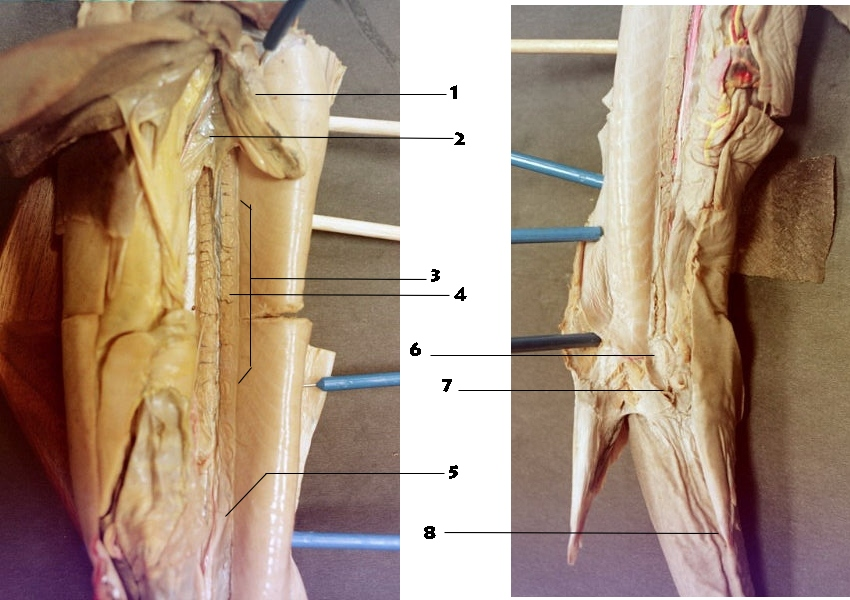 Male Reproductive System Of The Squalus