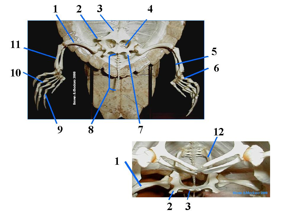 Appendicular Skeleton of the Turtle