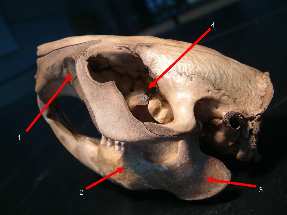 Vole Skull Articulation