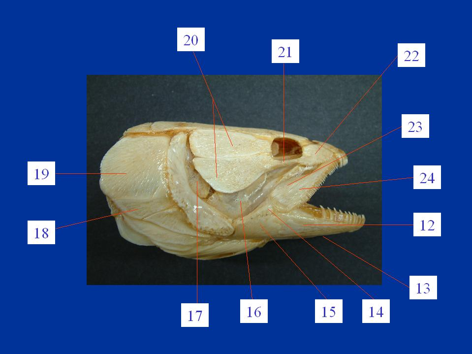 Mississippikite further Inhalt4 furthermore Streakbackedoriole as well Mourningdove furthermore Lateralviewskull. on dorsal and ventral in